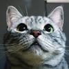 Cat`s Eye Canonetから50年。我が輩は猫であるから111年。 我が家の猫はアメリカンショートヘア。