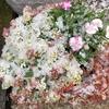 スイートアリッサムとナデシコとからす葉みせばやの寄せ植えが、ふんわりしたスイートなかき氷に!