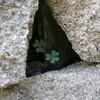 ゴールデンウィークと石垣の中のクローバー