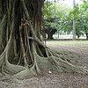 『牯嶺街少年殺人事件』のガジュマルの巨木