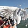 熊本―島原結ぶ高速船  カモメの美技に歓声
