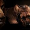 ライオン・ドッグと呼ばれた犬【ローデシアン・リッジバック】