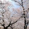【お花見】代々木公園は大満開!iPhoneの縦パノラマで個性的な桜の1枚を撮る!(2018/3/29)