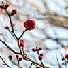 熊本市で梅が開花