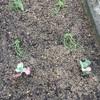 小さな菜園、玉ねぎが…!!!
