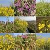 ツバメが飛んでいることとソメイヨシノの蕾と畦畔の菜の花