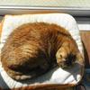2月前半の #ねこ #cat #猫 どらやきちゃんC