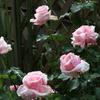 母の日のプレゼント、ピンクのバラ「オードリー・ヘップバーン」