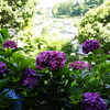 楊谷寺の紫陽花など