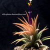 【Tillandsia ionantha 'Peach' NTH142】開花