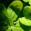 オキザリスの水滴レンズ^^
