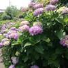 紫陽花ますます色づく。