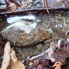 沢沿いの楽しみ方 その1石の下に潜む生き物たち