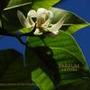 ギンコウボク 銀厚朴 Michelia ×alba