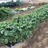 久しぶりの菜園観察。いくつか収穫もしたよ