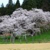 飛騨の春景色 『臥龍桜満開です!』
