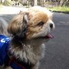 【わんことお散歩】横浜市旭区・大池公園でお花見をしながらお散歩!