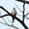 振り向けばハイタカ、そしてカンムリカイツブリ(大阪城野鳥探鳥 20200111 6:40-12:30)