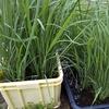 我が家田んぼ【順調に成長している稲たち】