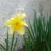 水仙が一輪咲きました!去年ゼロ!その前年は30くらい!