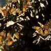 メルヘンの旅・メキシコに越冬する蝶モナルカ