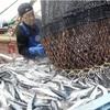 サンマ漁獲制限、合意できず 中国など反対