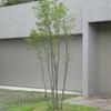 庭木に最適なヒメシャラの成長速度と一般的な大きさ
