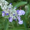ブルーサルビアの花が一つずつ一つずつ咲いてきてるんだ。
