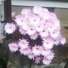 5月30日家の家庭菜園「キュウリの育て方」「やっぱりサボテンの花は綺麗だな2」