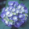 今日の誕生花「アジサイ」青花と赤花の七変化!