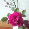 花壇で咲いたバラ。