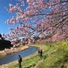 河津と下田下賀茂の桜