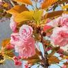 銀座の八重桜が満開になっています