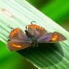 フレーザーズヒルの雑多な蝶