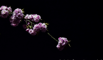 夜の桜は妖艶に咲き誇る