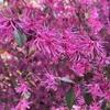 4月春の花散歩 : 関東 4月に咲く花(トキワマンサク ハナミズキ ライラック 八重桜 ナズナ ドウダンツツジ )