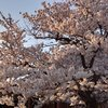 おっさんも明日からテレワークか 桜満開の下では日本全国緊急事態宣言へ