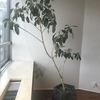 観葉植物(フランスゴム)