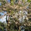 ネパ-ルの樹木と花 第48回目