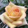 バラの花の色はイロイロ。我が家のピンク色のバラをご紹介〜