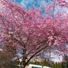 カナダの桜もきれいです。