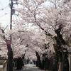 摩耶ケーブル下の桜トンネル満開。まやビューライン→摩耶山掬星台→桜谷道→徳川道→神戸森林植物園。
