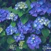 紫陽花を撮りに行く
