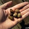 にんにく発芽、むかご山芋疑惑で植え付け、いちご移植