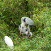 コサギの巣の中に営巣したアオアギの雛が孵りました