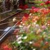 都電 三ノ輪橋の薔薇 Ⅰ