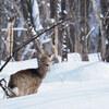 冬の嵐山公園で大量の野生エゾシカに出会った【北海道・旭川】