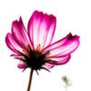 コスモスの花ひとつ 寒き心に小さな明かりを