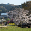 奈良県飛鳥の里でチェアリングでお花見。チェアリングってレジャーシートがイスになったってだけでしょ。