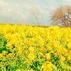 1月下旬〜2月中旬が旬の守山市の第一なぎさ公園の菜の花畑は琵琶湖大橋から車で1分!